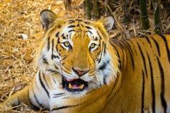 Tygrysa wędrować dziki Zdjęcia Royalty Free
