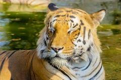 Tygrysa wędrować dziki Obraz Royalty Free