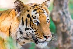 Tygrysa wędrować dziki Obraz Stock