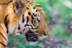 Tygrysa wędrować dziki Fotografia Stock