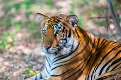 Tygrysa wędrować dziki Obrazy Royalty Free