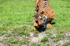 Tygrysi łasowanie Zdjęcia Stock