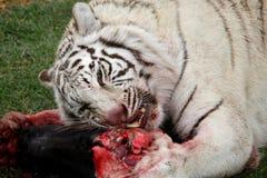 tygrysi łasowanie biel Zdjęcie Royalty Free
