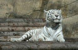 tygrysi biel obrazy stock