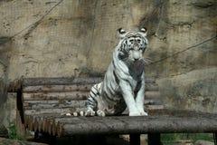 tygrysi biel Zdjęcia Royalty Free