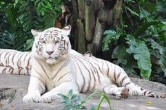 tygrysi biel Obraz Stock