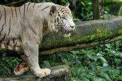 tygrysi biel Obraz Royalty Free