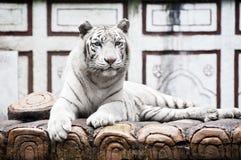 tygrysi biel Zdjęcie Royalty Free