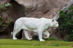 tygrysi biel Obrazy Royalty Free