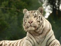tygrysi biel Fotografia Royalty Free