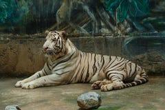 Tygrysi biel, tygrys zoo Tajlandia Fotografia Stock