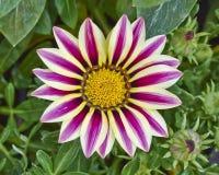 Tygrysi gazania kwiat zdjęcia royalty free
