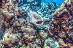 Tygrysi grouper (Mycteroperca Tigris) Zdjęcie Royalty Free