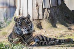 Tygrysi inat Krajowy zoo obrazy royalty free