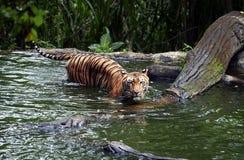 Tygrysi Indonezja Obrazy Royalty Free