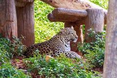 Tygrysi jaguara patrzeć Obrazy Stock