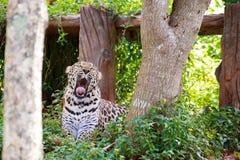 Tygrysi jaguara poziewanie Zdjęcie Stock