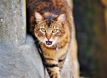 Tygrysi kot! Obraz Royalty Free