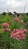 Tygrysi kwiat Zdjęcia Royalty Free