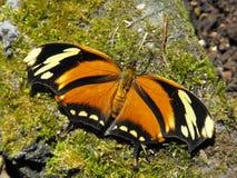 Tygrysi Leafwing motyl Zdjęcia Stock