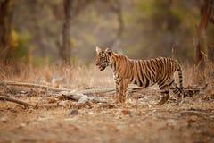 Tygrysi lisiątko w pięknym świetle w natury siedlisku Ranthambhore park narodowy obrazy royalty free
