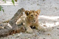 Tygrysi lisiątko Fotografia Royalty Free