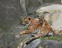 Tygrysi lisiątko na mama plecy Fotografia Stock