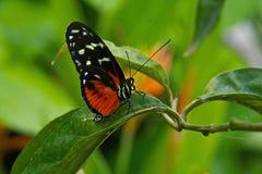 Tygrysi Longwing motyl zdjęcie royalty free