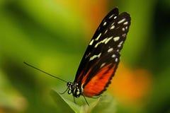 Tygrysi Longwing motyl obraz royalty free