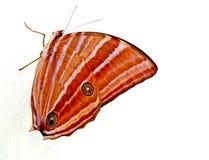 Tygrysi motyl Zdjęcie Stock