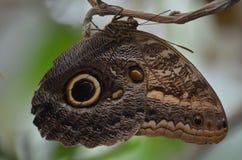 Tygrysi motyl Obrazy Stock