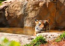 Tygrysi obsiadanie w wodzie ono wpatruje się out w popołudniowym słońcu Obrazy Royalty Free