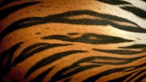 Tygrysi oddychania futerka zbliżenie zdjęcie wideo