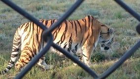 Tygrysi odprowadzenie zdjęcie stock