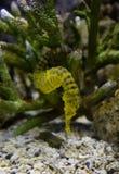 tygrysi ogonu seahoruse Obrazy Royalty Free