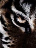Tygrysi oko Obraz Stock