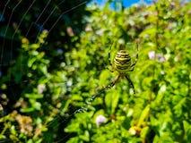 Tygrysi pająk czekać na zdobycza na swój pająk sieci po środku natury Swój naturalna pozycja jest być ten pająkiem ustawiającym zdjęcie royalty free
