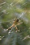 Tygrysi pająk Zdjęcie Royalty Free