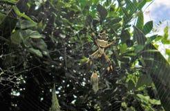 Tygrysi pająka karmienie na motylu fotografia royalty free
