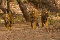 Tygrysi Panthera Tigris Tygrys T 39 z lisiątkami, Ranthambhore tygrysa rezerwa, Rajasthan, India zdjęcia royalty free