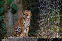 Tygrysi patrzejący coś Zdjęcie Royalty Free