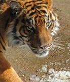 Tygrysi portret Obrazy Royalty Free