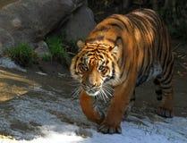 Tygrysi portret Zdjęcia Stock