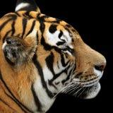 Tygrysi portret na czarnym tle zdjęcia stock