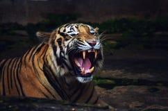 Tygrysi poryk obrazy royalty free