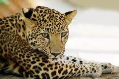 tygrysi potomstwa Obrazy Royalty Free