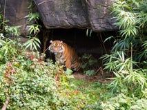 Tygrysi przybycie z jamy Zdjęcia Stock