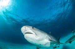 Tygrysi rekin Zdjęcie Stock