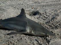 Tygrysi rekin Obrazy Royalty Free