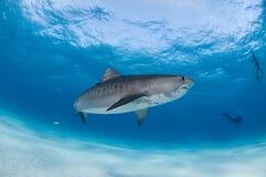 Tygrysi rekin z akwalungów nurkami Fotografia Royalty Free